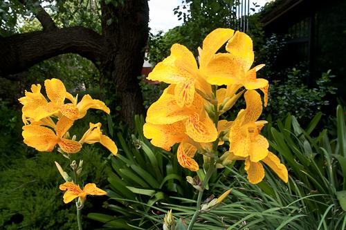 Xmas lilies.jpg